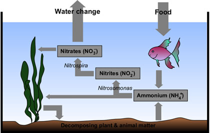 Nitrogen Cycle_Cycling Aquarium Without Fish