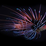 Clearfin_lionfish_(Pterois_radiata)_4x3