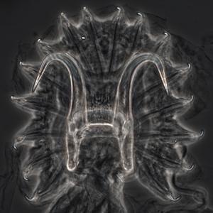 Gyrodactylus_1x1_300