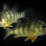 YellowPerch_4x3
