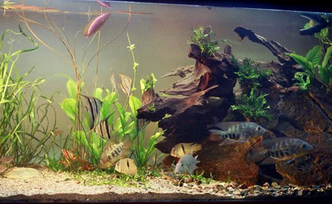 Chaetobranchus_Fish Geeks Aquarium Maintenance Service