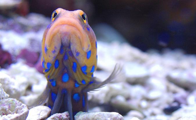 jawfish_Fish Geeks Aquarium Maintenance Service