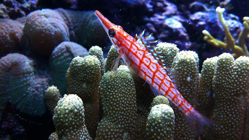 long-nosed-hawkfish_16x9_840