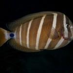 sailfin tang_4x3